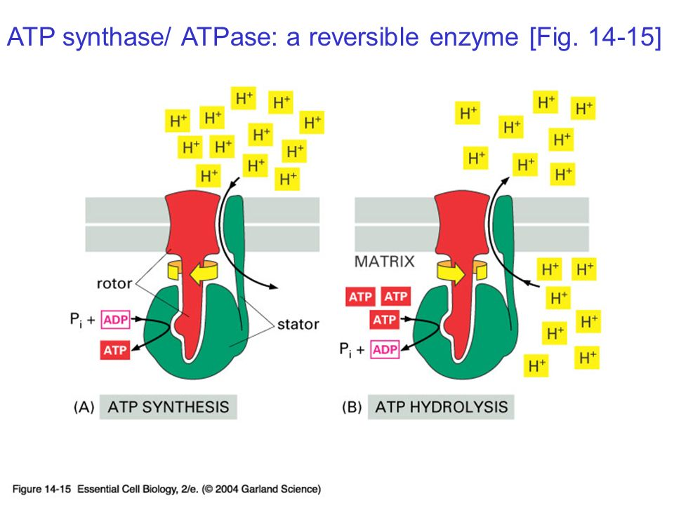 atp synthase the worlds smallest God appears to have left his unmistakable signature throughout his creation, even on the smallest parts atp synthase, an important enzyme, manufactures (synthesizes) a vital, energy-rich compound called atp a stream of protons from an acidic area flows through atp synthase to power its spinning.
